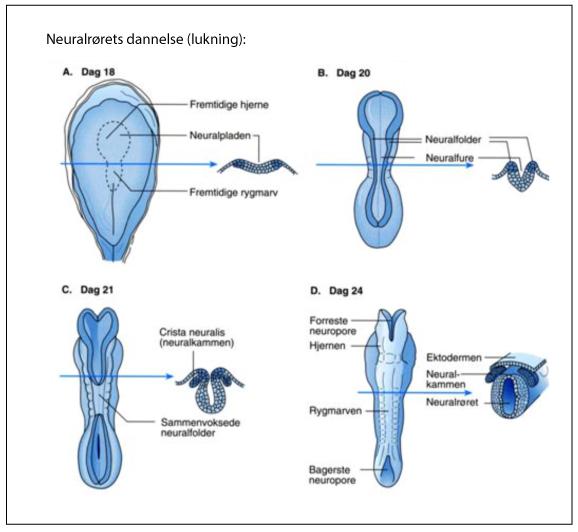 tegning hvor man kan følge dannelsen af neuralrøret - lukningen af det