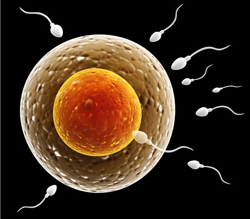 Befrugtning - sædcellen gennemtrænger ægcellen