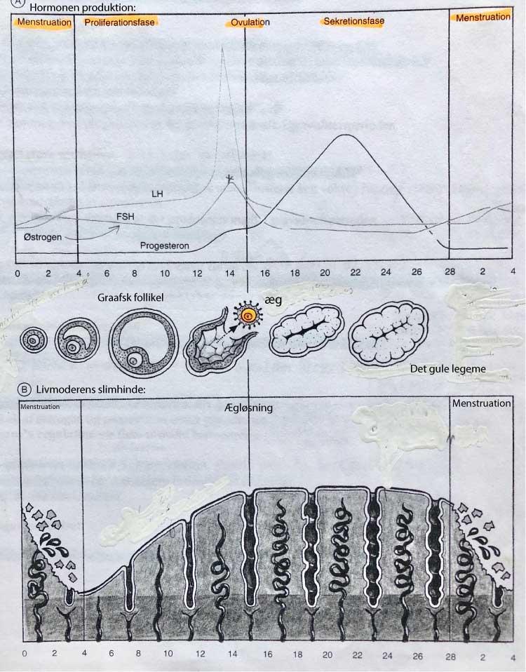 Den kvindelige cyklus, hvor man ser hormoner, ægløsning og slimhinden i livmoderen