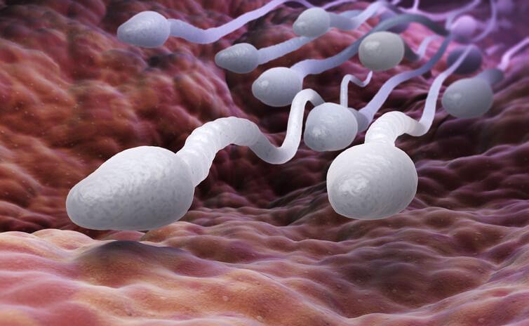 Sædceller der svømmer afsted i livmoderen.