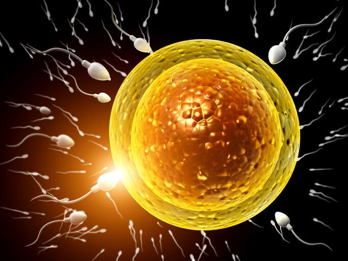 Sædcelle der trænger ind i ægget og bestemmer barnets køn