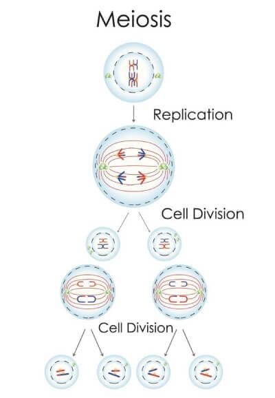 Celledeling til kønsceller, Meiosis