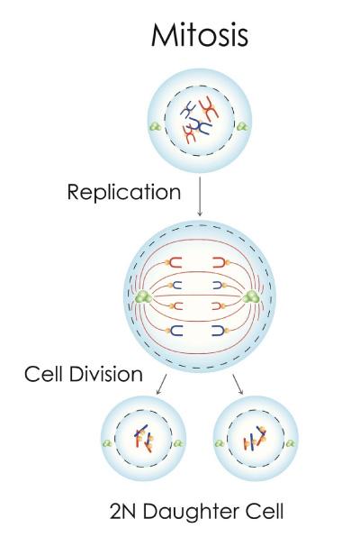 Den almindelige celledeling, Mitosis