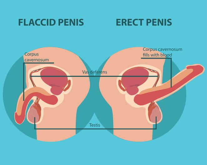 Penis uden rejsning og med rejsning