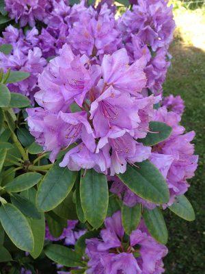Flotte lilla blomster i haven