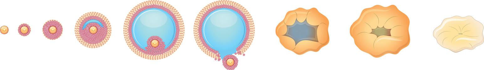 Ægløsning og dannelsen af det gule legeme
