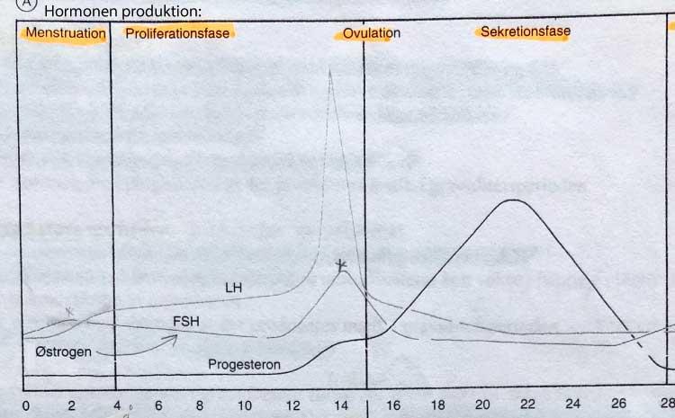hormonerne i den kvindelige cyklus