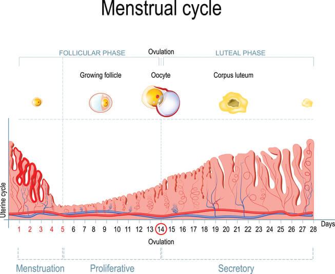 Progesteron gør livmoderens slimhinde klar til ægget.